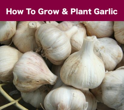 how to grow fresh garlic at home