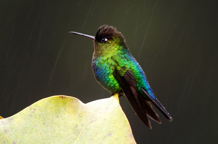 Fiery Throated Hummingbird: Animal Ideas, Delicate Hummingbirds, Rican Hummingbird, Craft Animal