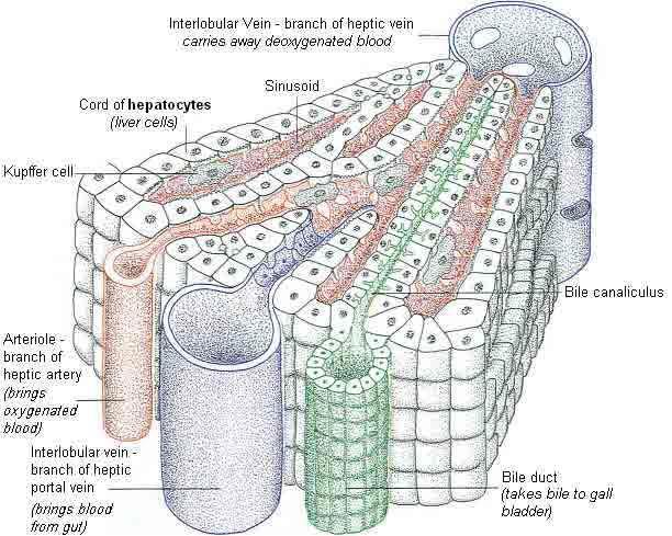 liver diagram