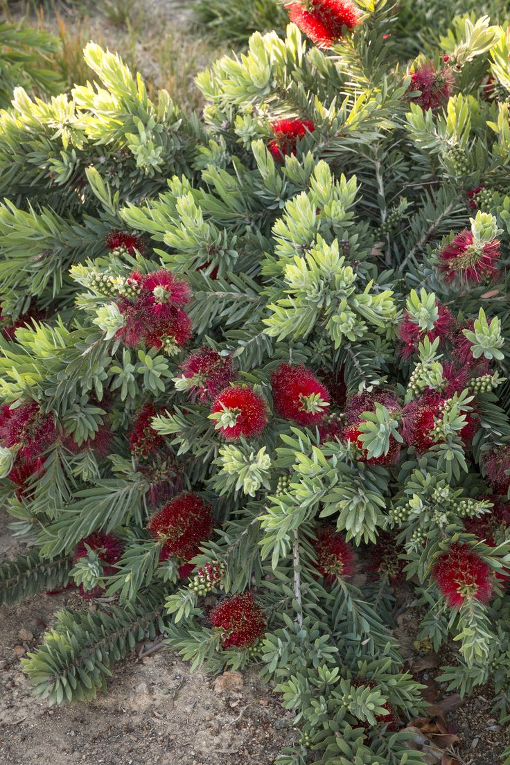 Little John Dwarf Bottlebrush - Blood red blooms cover the top of this dwarf grower for an extended season. Dense branches are covered with blue-green leaves. Versatile compact size is perfect for today's smaller gardens. Evergreen.