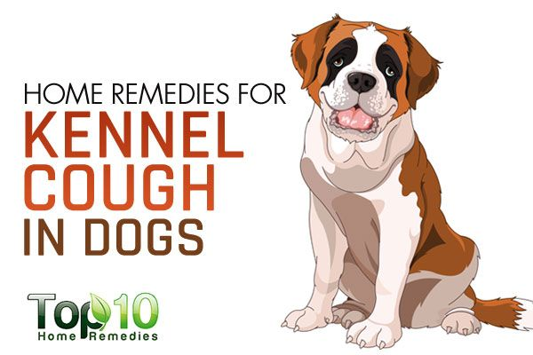 If your dog is suffering from a dry, hacking cough as if something is stuck in its throat, your pet may have kennel cough. Also, known as tracheobronchitis, it is one of the world's most widespread canine diseases. Kennel cough is mainly caused by Bordetella bronchiseptica bacteria. Several viruses may also contribute to this problem. …