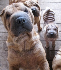 5-3-12 - Oregon Humane Society  Rescues More than 40 Dogs from Washington Breeder. Shar-pei