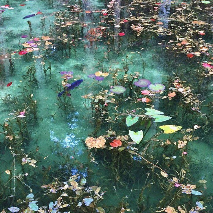 今話題のモネの池 3日前に池が濁ってしまったそうですが すっかりキレイになってました。 ・ #モネの池 #根道神社 #板取