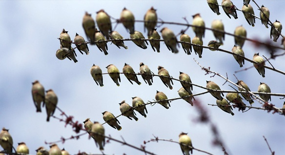 bird berries