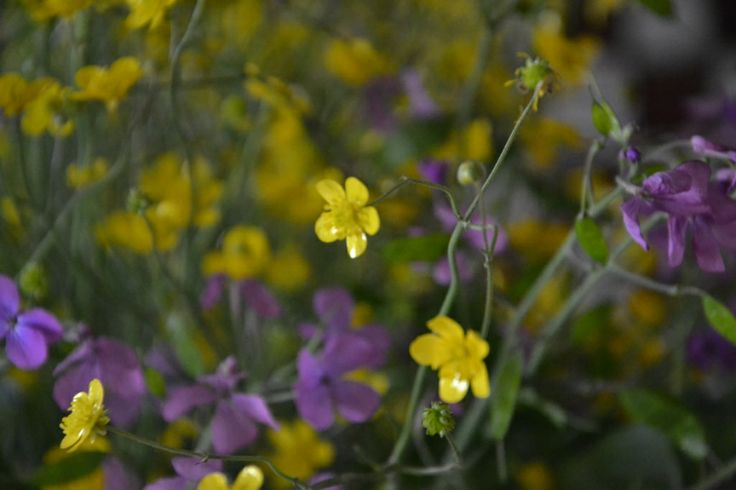 wild flower # yellow # violet # countriside flower # www.cabiancadellabbadessa.it