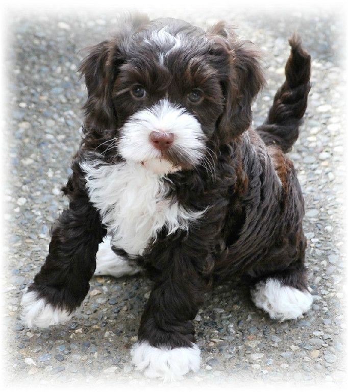 Australian Labradoodle puppy!