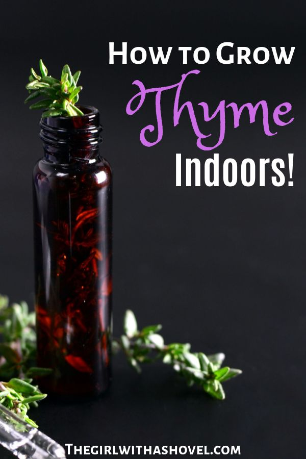 Indoor Thyme Plant Care