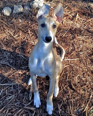 Beau A 5 Month Old Greyhound Puppy Currently Up For