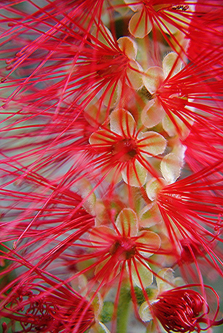 Lemon Bottle-brush / Crimson Bottlebrush: Callistemon citrinus [Family: Myrtaceae]