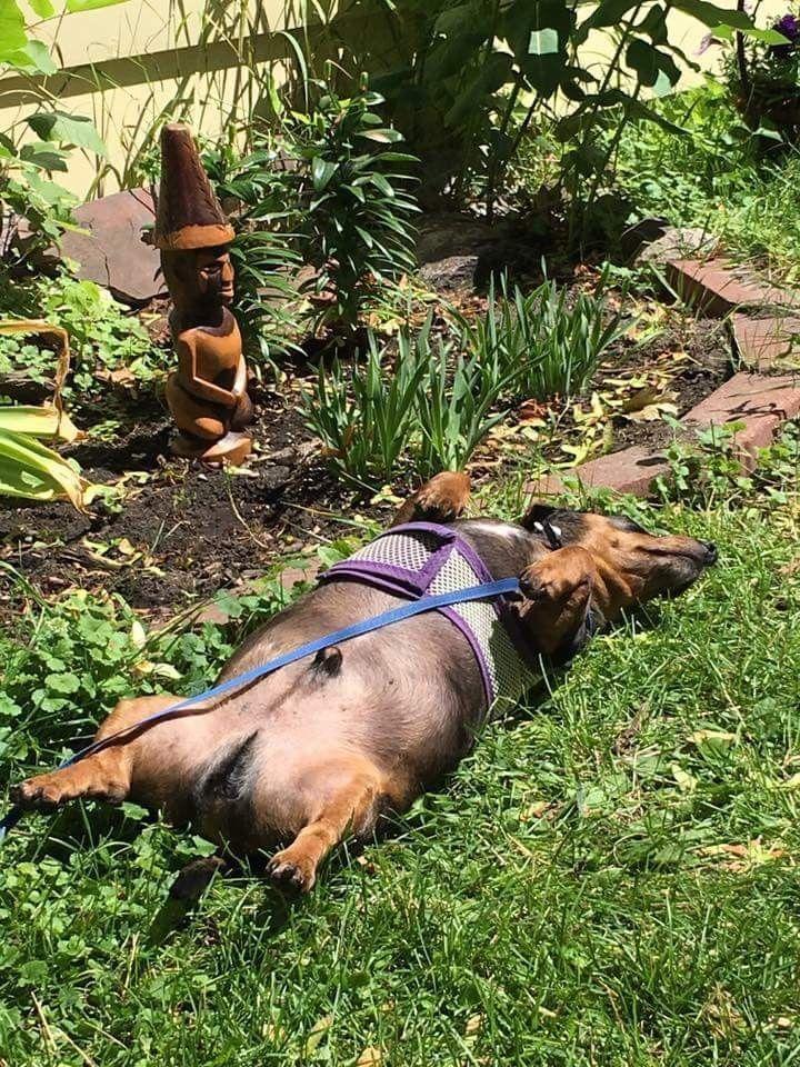 Pin By Victoria Pfeffer On Dachshund Love Dachshund Dog