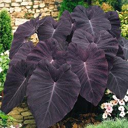 Black Magic Elephant Ears