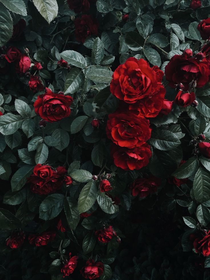 Pin by carrie e. on MUSE   Aesthetic roses, Dark red roses