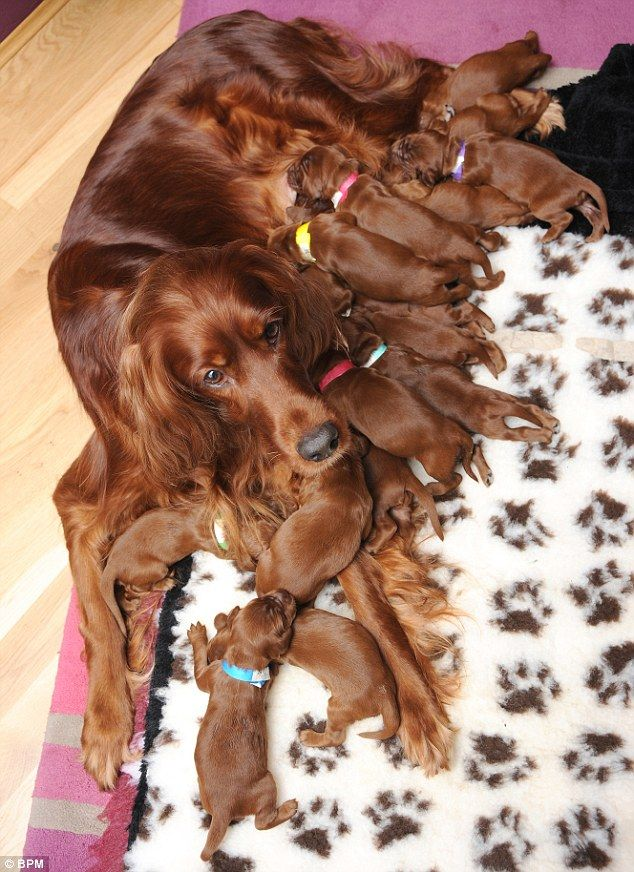 Proud mum: Irish Setter Romy with her litter of 15 healthy newborns born after eight hours of labour - whew, I'm exhausted just thinking about it & it was her 1st litter too!!!!!!