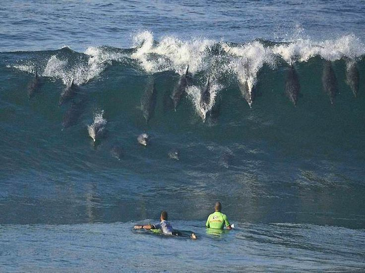 "Dolphins ""surfing"" in San Diego. Wow it is so crazy what animals do for fun #dolphins #sandiego"