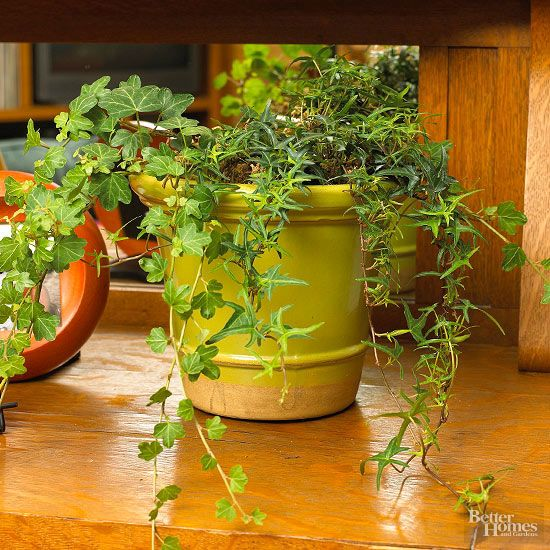 Best 25 Ivy Plants Ideas On Pinterest Indoor Ivy