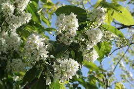 PRUNUS PADUS (Merisier à grappes) « Petit arbre de haies et de bois clairs plutôt humides. On le surnomme « arbre à muguet » en raison de la ressemblance de ses fleurs avec le muguet. Il est surtout utilisé comme arbre ornemental car sa floraison s'étale d'avril à juin et apparaît en même temps que ses feuilles au printemps.