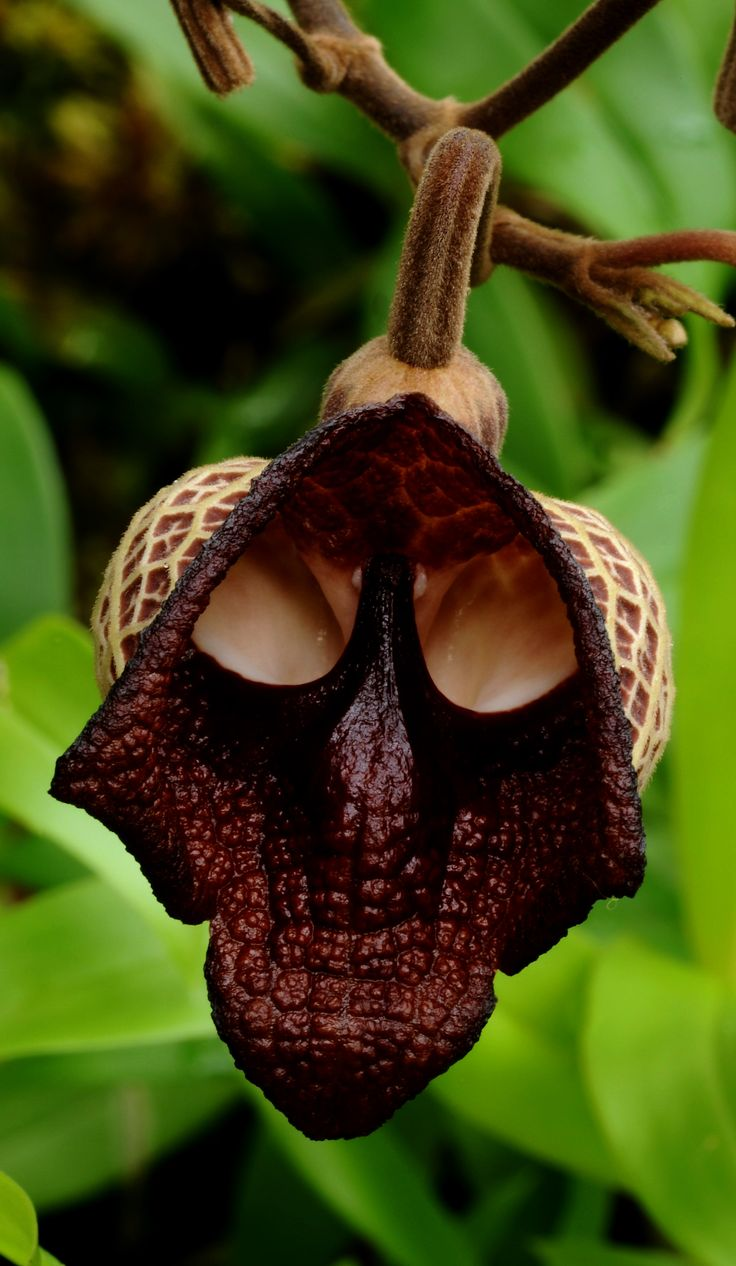 "The flower Aristolochia salvador platensis seems a bit like Darth Vader from Star Wars! ""Luke, I am your father."" Eeeeek!"