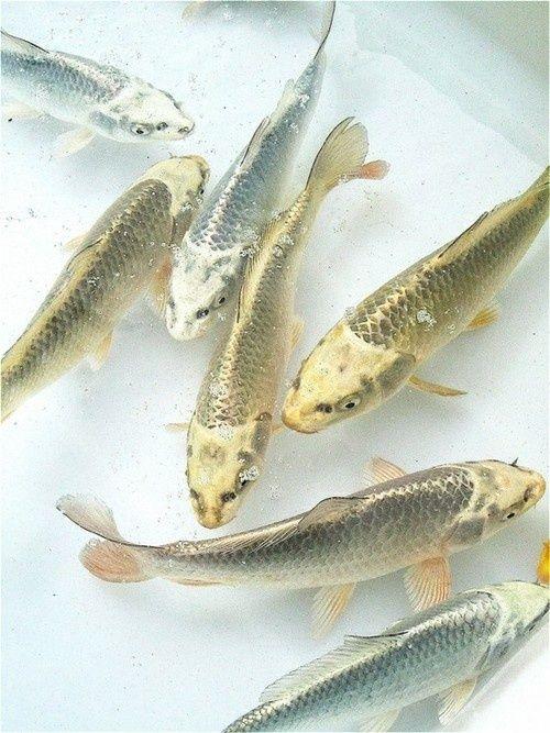 Die besten 25 goldfisch aquarium ideen auf pinterest for Deko fische plastik