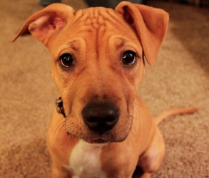 Stella is an adoptable Pit Bull Terrier Dog in Rochester, NY. Baby Stella came from the same shelter her brother and sister Gunther and Teagan came from. Stella is a cuddly, sweet, and playful little ...