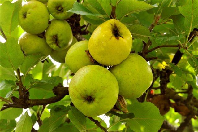 Høve-Reinette apple