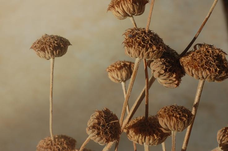 Jerusalem Sage seed heads