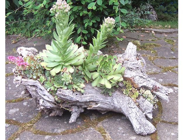 growing succulents in a dead tree branch/trunk