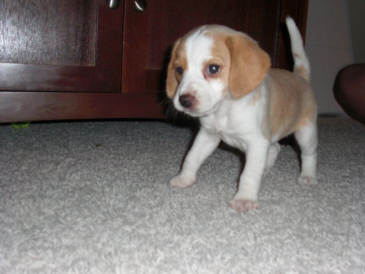 Lemon beagle puppy! Got one with my name on it to pick up in September! Empty nest at the Stephenson house? Not anymore!