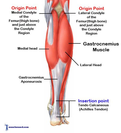 Gastrocnemius Muscle Origin And Insertion Gastrocnemius Muscle |...