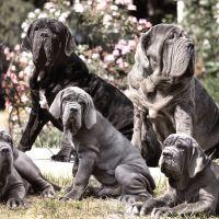 #dogalize Dog Breeds: Neapolitan Mastiff dog, temperament personality #dogs #cats #pets