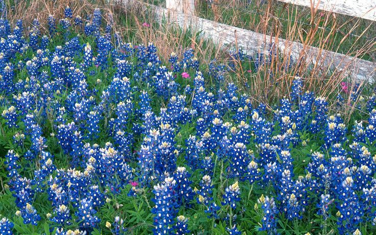 Field Of Blue Bonnet Flowers In Texas Gardens And