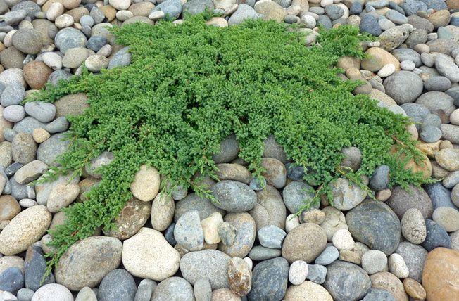 Japanese Garden Plants Names | Japanese Garden Juniper   Juniperus  Procumbens Nana | Japanese Garden Plants | Pinterest | Japanese Garden  Plants, Plants And ...