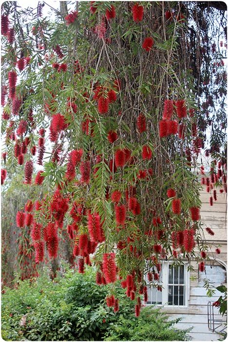 17 best images about shrubs on pinterest