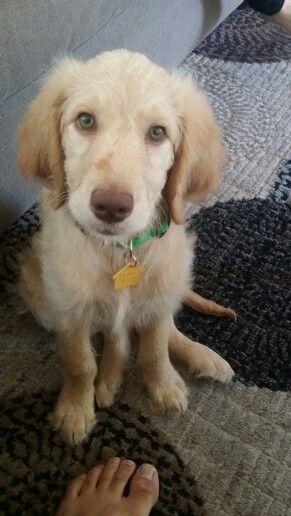 Our Goldendoodle at 10 weeks Belle