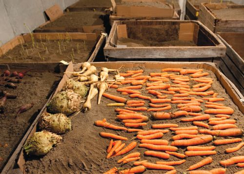 How to Store Vegetables Over the Winter - Modern and Vintage Storage Tips - SHTF Preparedness