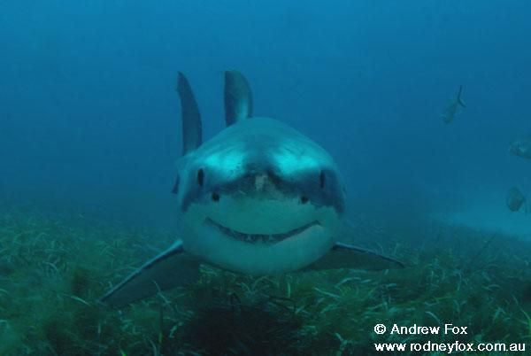 cute great white shark - photo #7