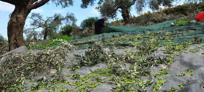 Το Μαστίχι: Αυτά είναι τα ελληνικά αγροτικά προϊόντα που σαρών...