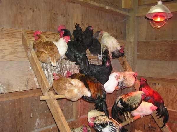 DE RETINUT: 3 sfaturi pentru ca să ai producție de ouă și iarna: - strat de paie gros in adăpostul găinilor  stinghii pe care să se cațere - un bec in adăpost (sa fie aprins 3-4 ore inainte de răsărit) - suplimentarea rației. Au nevoie de mult calciu de proteine și de vitamine Citește articolul aici: goo.gl/RW4Amd #gainiouatoare #agroland