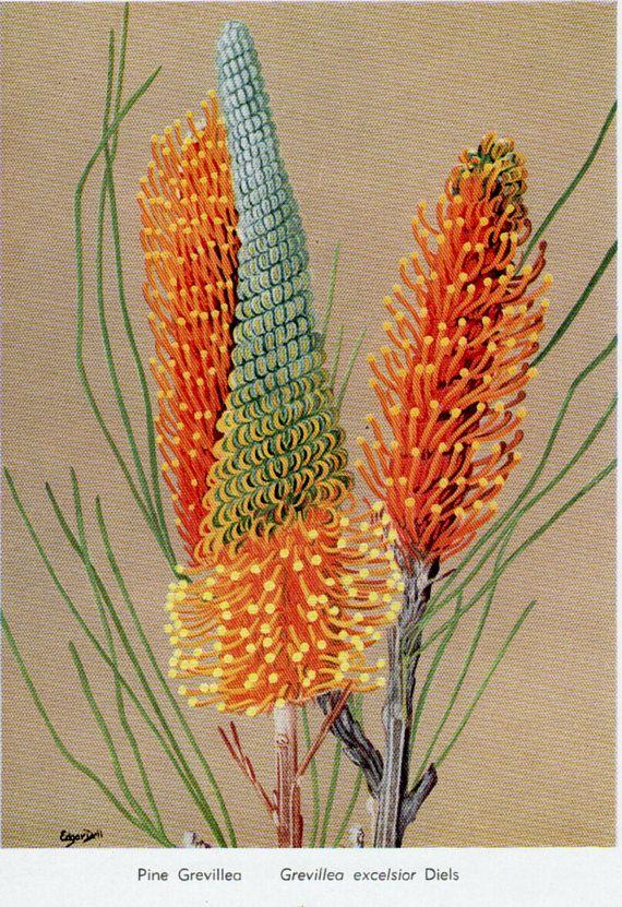 antique print FLOWERS Australian Wild Flowers pink flower print, botanical decor