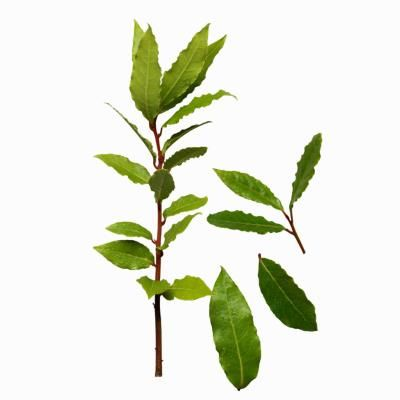 Umbellularia californica, known as bay laurel, California laurel or simply bay trees, are native to California. The tree grows in U.S. Department of Agriculture hardiness zones 7 through 10. Bay ...