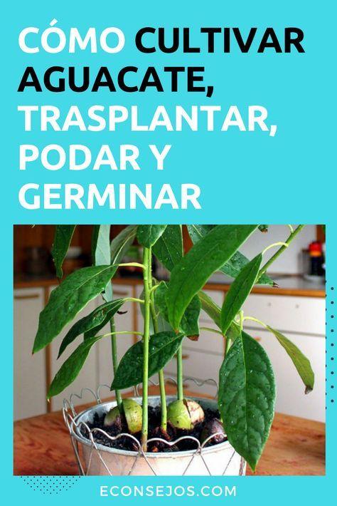 Aprende A Cultivar Aguacate En Una Maceta Y Deja De Ir Al Mercado Jardinería De Hortalizas En Macetas Aguacate Cultivar Aguacate Planta