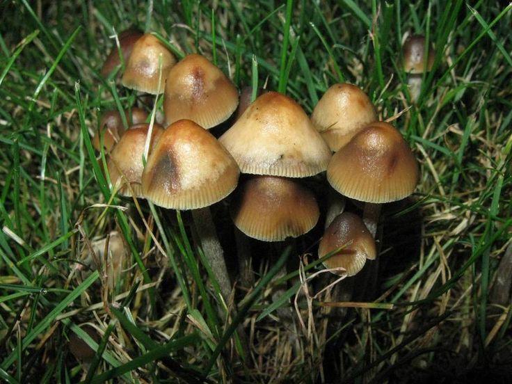 how to grow psylocibin shrooms