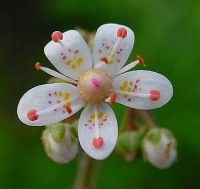 <3   Saxifraga umbrosa - London Pride.  Such a dainty flower and one of my all time favourites!