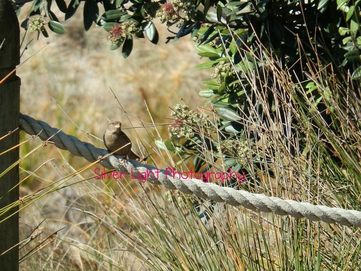 Sparrow at Mount Maunganui, Tauranga NZ