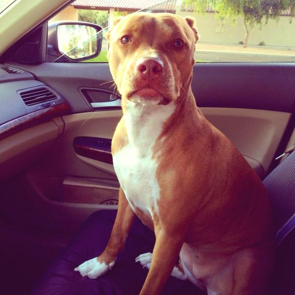 My red nose pit bull Chanel They are such sweet dogs!