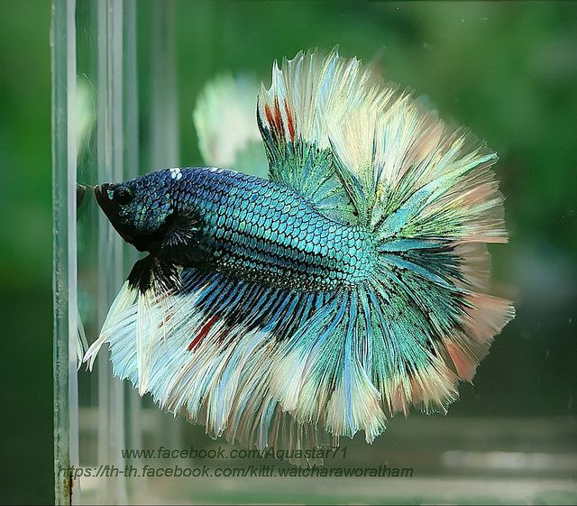 1000 images about bettas on pinterest copper auction for Betta fish diseases
