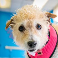 Cute+Muttville+mutt:+Gilda+4026+(Jack+russell+terrier+/+poodle+mix+|+Female+|+Size:+small+(6-20+lbs))