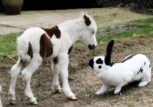 "Minature Horse Foal: ""Have you seen my Mama?""  Rabbit: ""What? No."""
