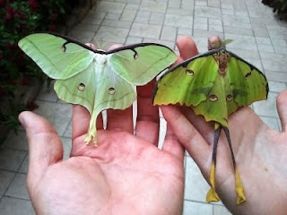 Luna Moth and African Moon Moth Sticks Insects, Luna Moth, Moon Moth, North America,  Walkingstick, Actia Luna, Walks Sticks, African Moon, Beautiful Moth