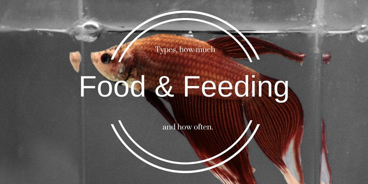 Are you overfeeding your betta? It could kill them! Check out the full Betta Fish Food and Feeding Guide.