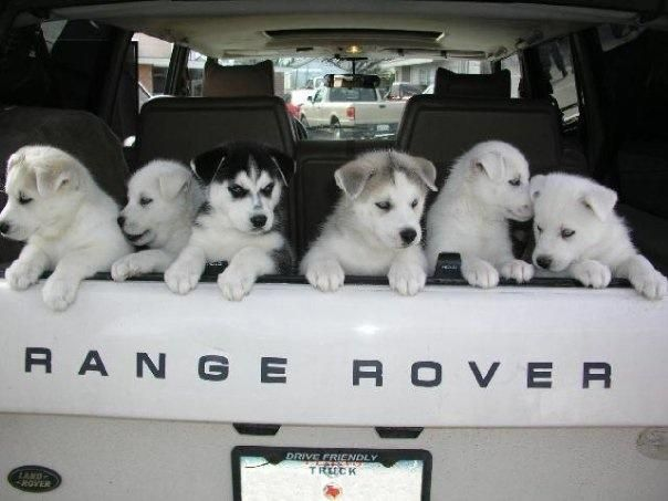 Where do you drive your furry friend in your #LandRover? Photo from fan David C.